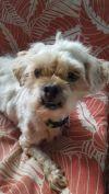Maltese Dog: Donahue