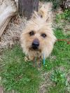 Norwich Terrier Dog: Rory
