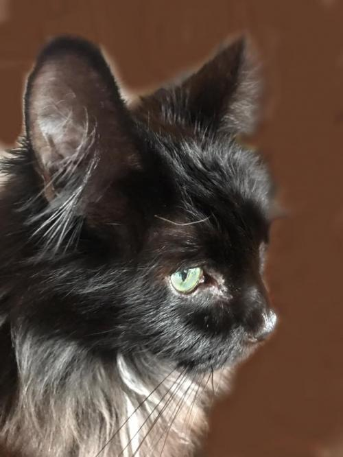 Black Velvet, an adoptable Domestic Long Hair in Springfield, OR