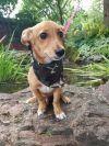 Corgi Dog: Dip Stick