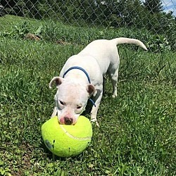 Emma, an adoptable Pit Bull Terrier Mix in Benton, PA