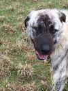 Anatolian Shepherd Dog: Dino