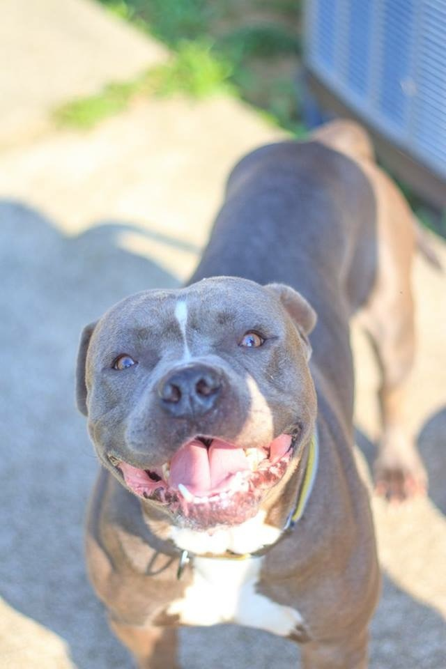 Dragonaro, an adopted American Staffordshire Terrier in Mooresville, IN