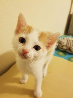 Adopt Creamsicle A American Shorthair in Tampa | 4943791213 | Oodle