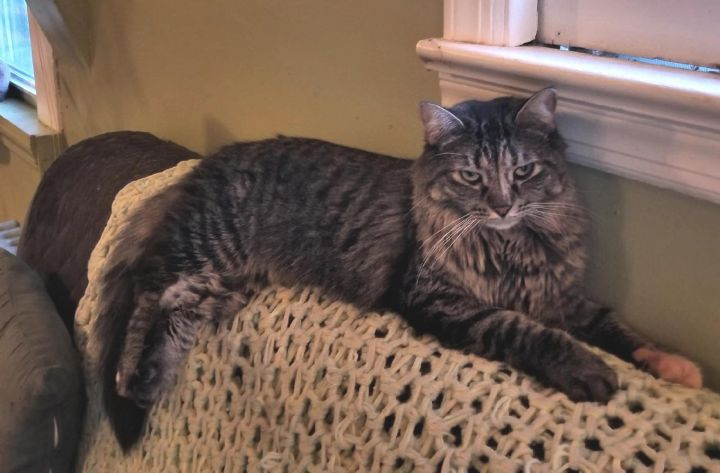 May (MP), an adopted Domestic Long Hair in Little Falls, NJ