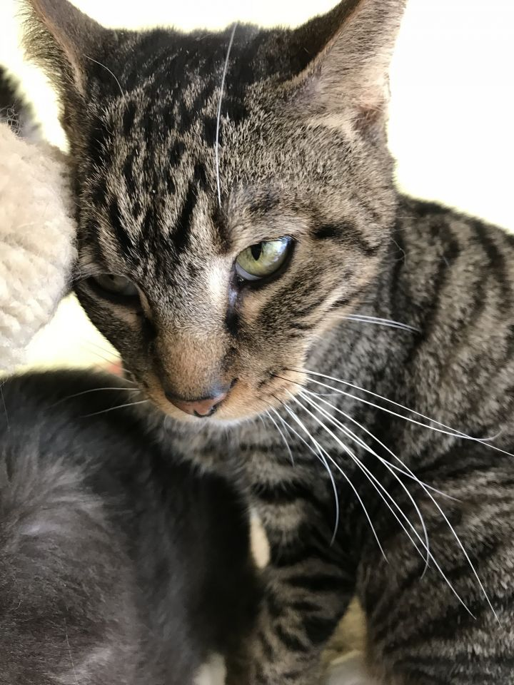 Spot, an adoptable Domestic Short Hair in Pompano Beach, FL
