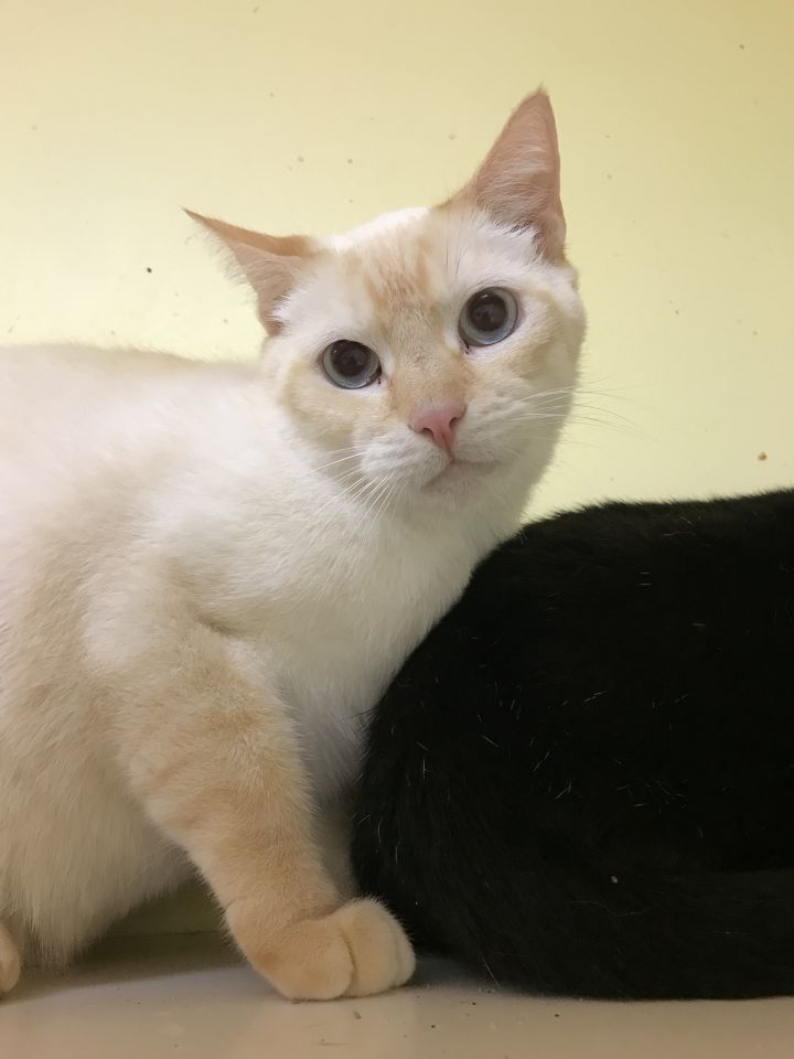 Shortbread, an adoptable Domestic Short Hair in Oakland Park, FL