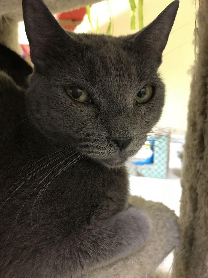 Josie, an adoptable Russian Blue & Domestic Short Hair Mix in Pompano Beach, FL