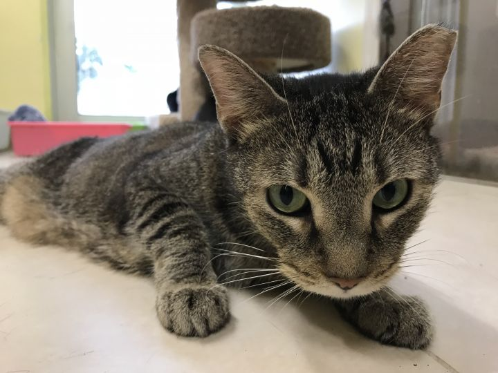 Jack, an adoptable Domestic Short Hair in Pompano Beach, FL