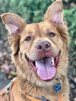 Teddy ( Courtesy Posting), an adopted Chow Chow & Golden Retriever Mix in Sacramento, CA