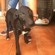 Pinky, an adopted Labrador Retriever Mix in Loiza, PR