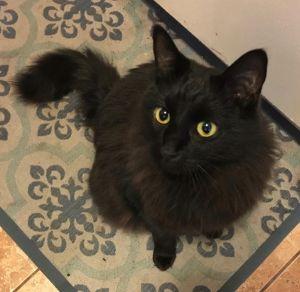 Glinda (bonded to Emmett) Domestic Medium Hair Cat