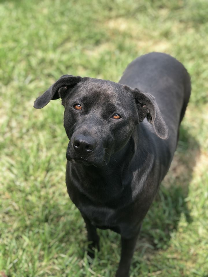Mocha-SWEET, LAID BACK!!~URGENT!!, an adopted Black Labrador Retriever Mix in Franklin, KY