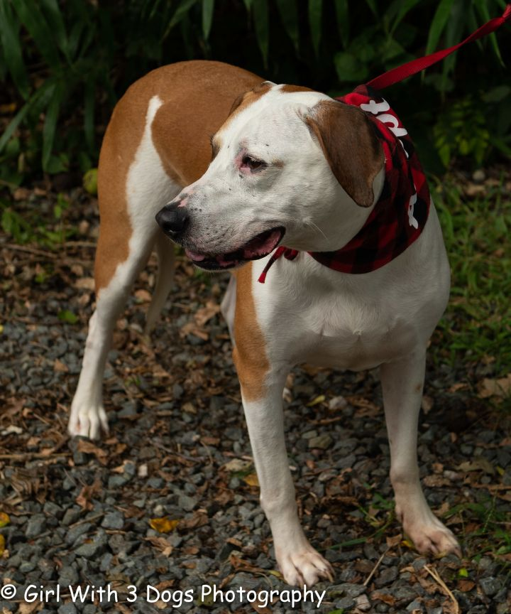 Dixen, an adoptable Hound Mix in Sanford, NC_image-6