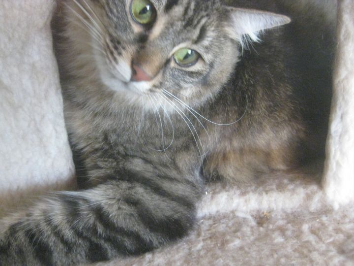 Tiny, an adopted Tabby in Shoreline, WA