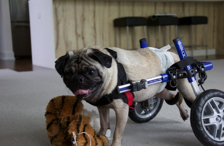 Jack, an adopted Pug in Niles, IL