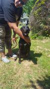 Labrador Retriever Dog: Luna