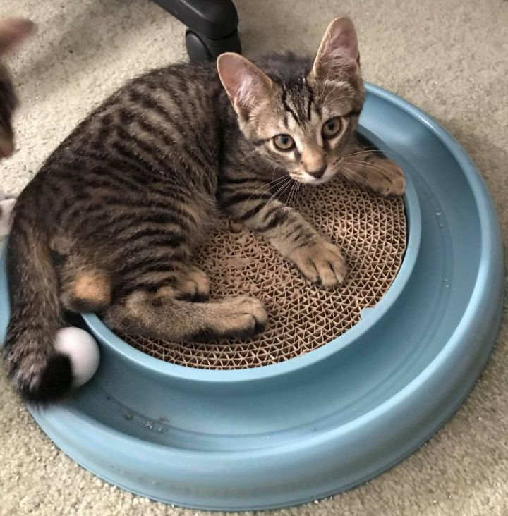 TIGGER, an adopted Domestic Short Hair in Sewell, NJ