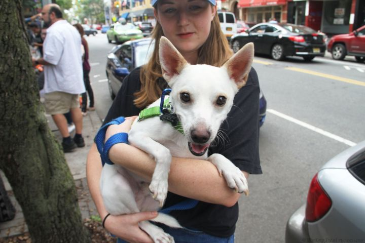 Napoleon Bonaparte, an adopted Chihuahua & Feist Mix in Brooklyn, NY
