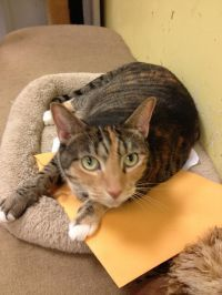 Sweet and playful loving girl Affectionate and gentle lap cat She head buts you for love and gets