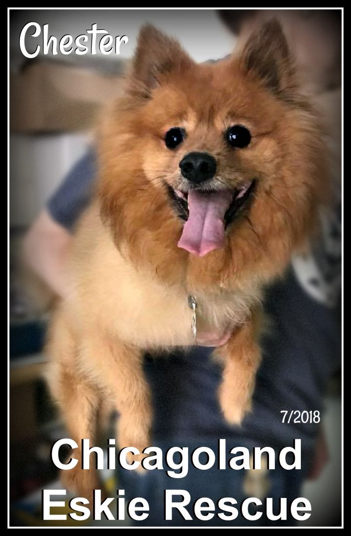Chester, an adopted Pomeranian in Naperville, IL