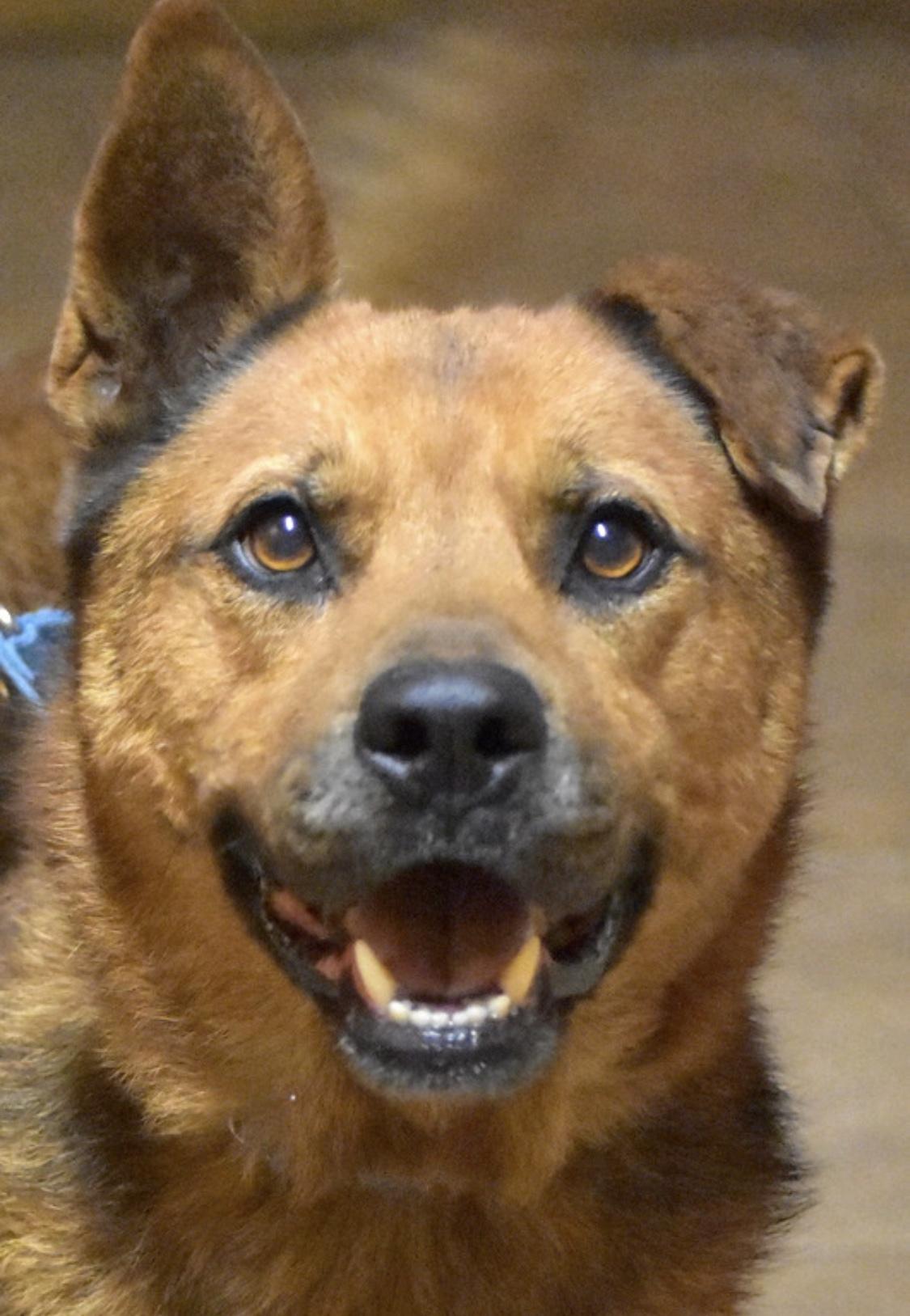 Dog for adoption - Sam, a German Shepherd Dog & Chow Chow Mix in Palm City, FL  Petfinder