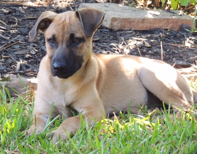 Sunny, an adoptable Black Mouth Cur & German Shepherd Dog Mix in Brenham, TX