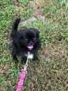 Pekingese Dog: Jet in Clearwater