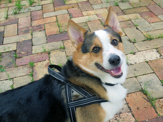 Grover, an adopted Cardigan Welsh Corgi in Chesterfield, MO