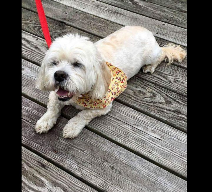 Leo, an adoptable Lhasa Apso & Poodle Mix in Flushing, NY