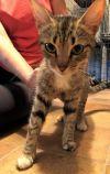 American Shorthair Cat: Masha