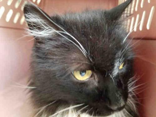 Cat For Adoption Sox Near Waynesville Nc Petfinder