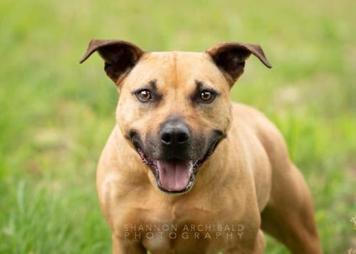 Jersey, an adoptable Pit Bull Terrier in Dallas, GA