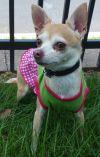 Chihuahua Dog: Olivia-Adoption pending