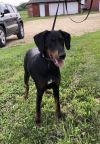 Doberman Pinscher Dog: Winnie