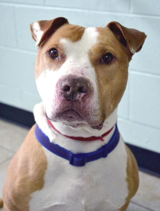 John Candy, an adopted American Staffordshire Terrier Mix in Eagle, ID