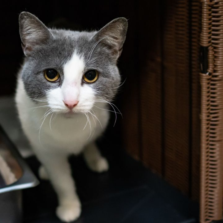 Cat for adoption - Trillian, a Domestic Short Hair in