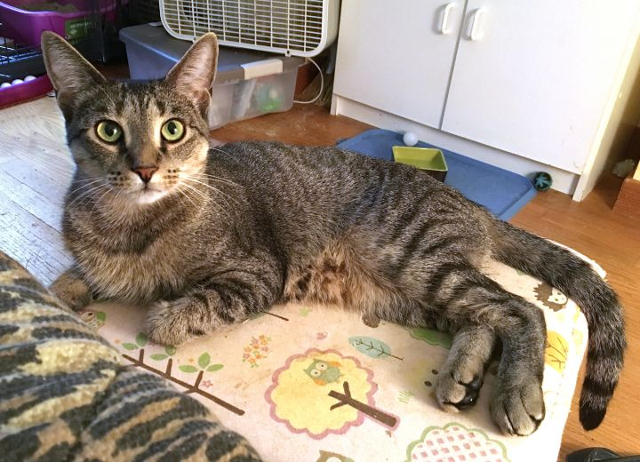 Daphne Twinklin, an adopted Tiger & Tabby Mix in Newtown, CT