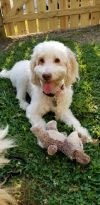Golden Retriever Dog: Belle