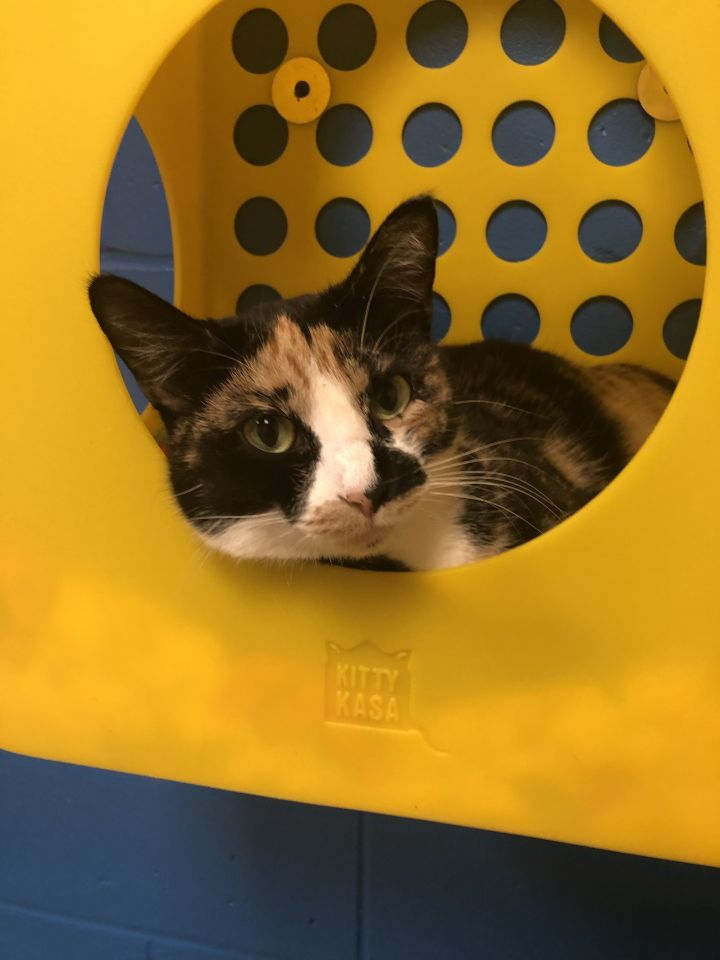 Victoria, an adopted Domestic Short Hair in Appleton, WI