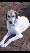 Anatolian Shepherd Dog: Bruce
