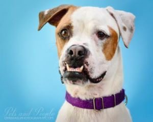 Jacky is a male 6 year old American BulldogBoxer mix who can charm anyone who