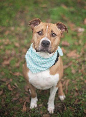 Chloe Pit Bull Terrier Dog