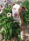 Pit Bull Terrier Dog: Rudy