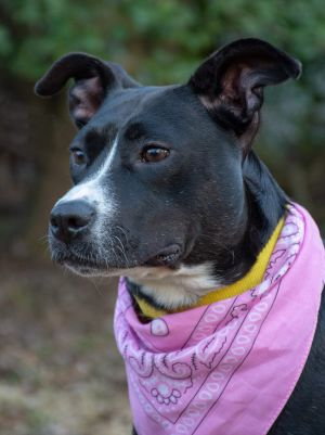 Dog for adoption - Jessie, a Labrador Retriever & Collie Mix in