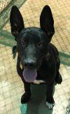 Great Dane Dog: Junior