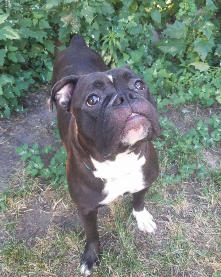 Dog For Adoption Tess An English Bulldog American Bulldog Mix