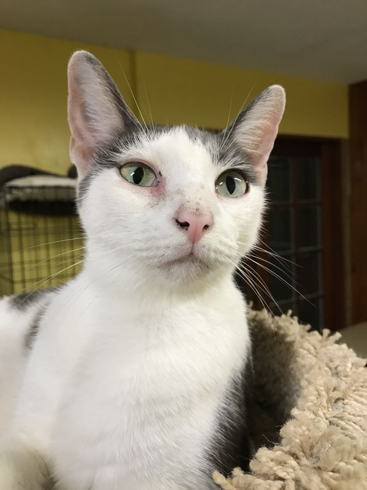 Rosie, an adoptable Domestic Short Hair in Pompano Beach, FL