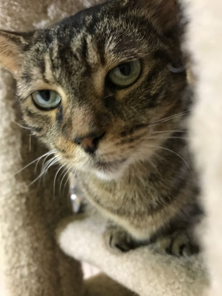 Elvis, an adoptable Domestic Short Hair in Pompano Beach, FL