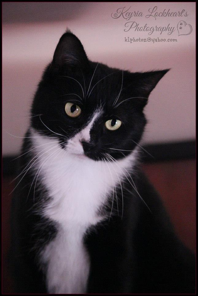 Cat For Adoption Trendy Tuxedo Cats A Domestic Short